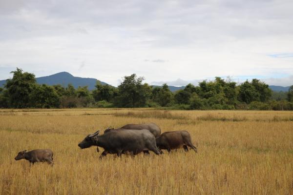 Plain of Jars_Site 3 Rice fields_Phonsavan_Laos.jpg