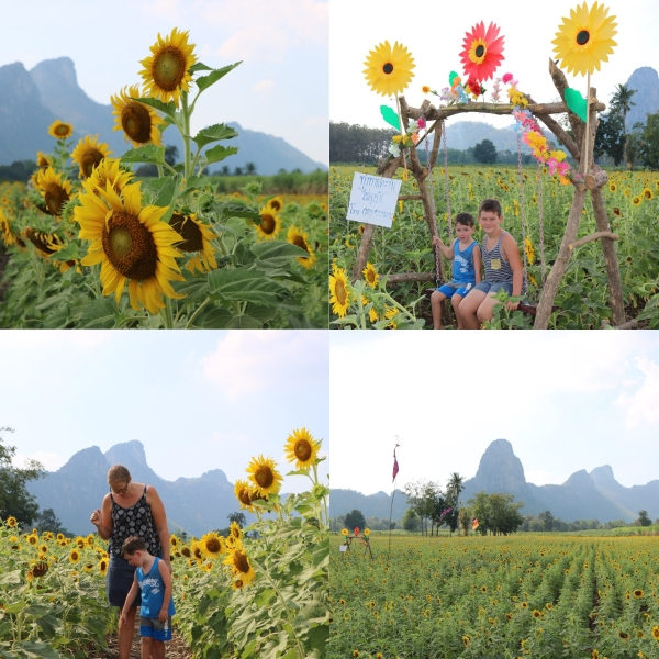 Sunflower Fields_Lopburi_Thailand_1