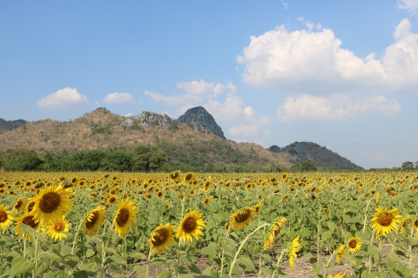 Sunflower Fields_Lopburi_Thailand_2