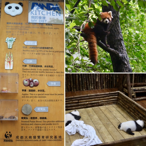 Chengdu Research Base of Giant Panda Breeding_China_2