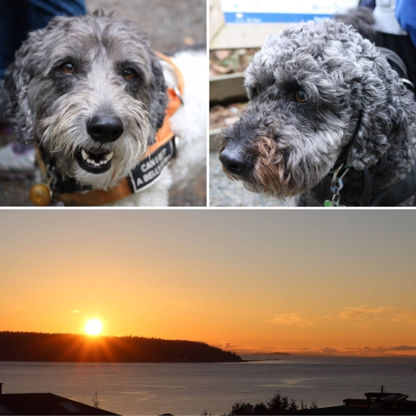 labradoodle siblings_campbell river_bc_canada